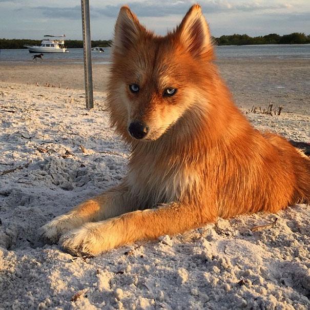 fox-dog-pomeranian-husky-mya-the-pomsky-19