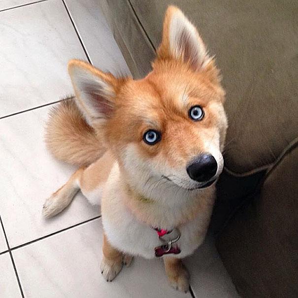 fox-dog-pomeranian-husky-mya-the-pomsky-7