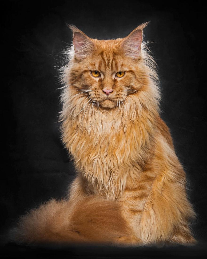 характер кошек породы мейн кун