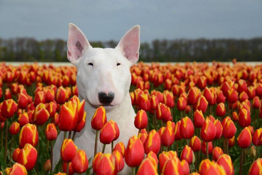 Бультерьер с цветком фото